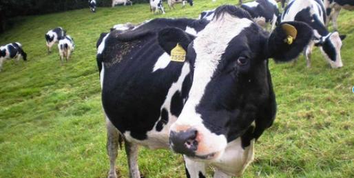 El problema de la Endometritis en las vacas lecheras
