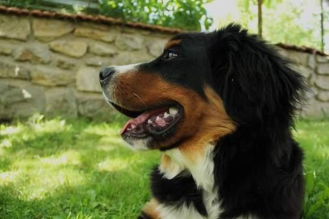 Cómo se debe de cuidar y atender a un perro de raza grande