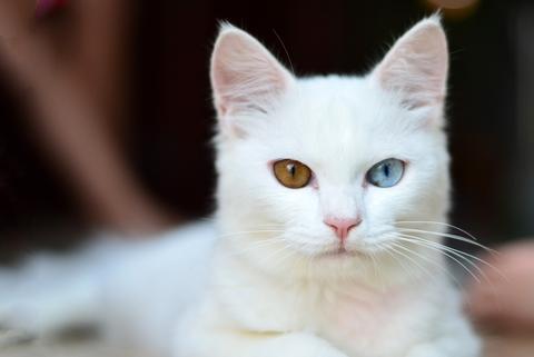 Cómo afecta la otitis a los gatos