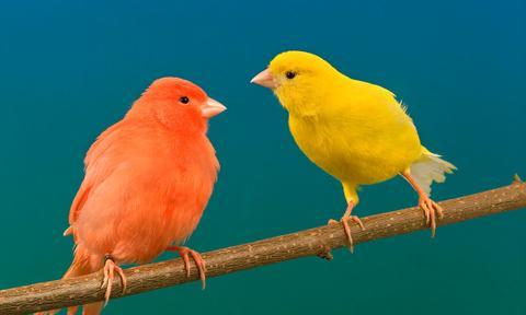Consejos para el cuidado de los canarios en el año nuevo 2021