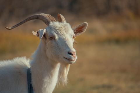 Los mejores consejos para cuidar a las cabras