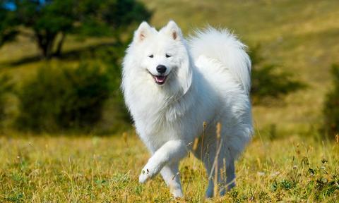 Cuáles son los mejores perros mascota para personas alérgicas