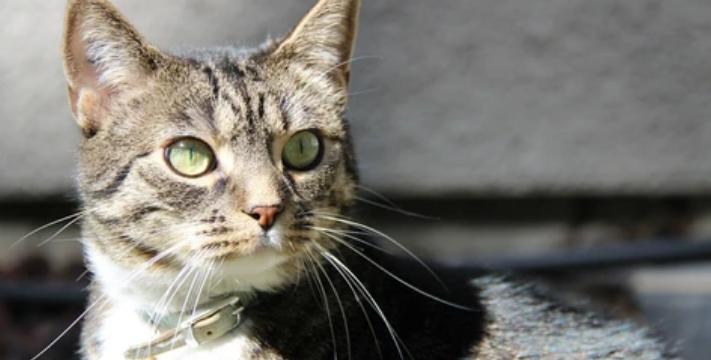 Importancia de la limpieza e higiene del gato
