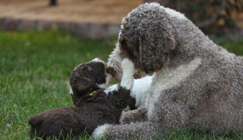 Los mejores cuidados para el perro de aguas