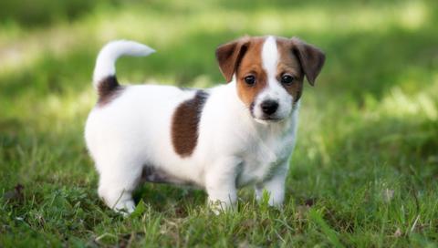El problema del enanismo en los canes