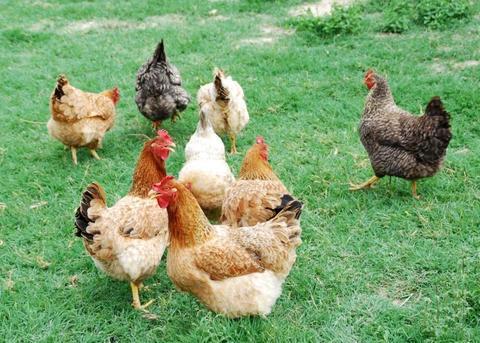 Cuáles son las enfermedades de las aves que se transmiten a las personas
