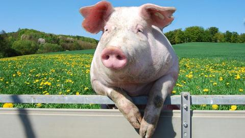 El problema de la tuberculosis porcina