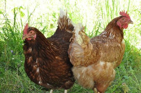 Infecciones paratíficas en las aves de corral