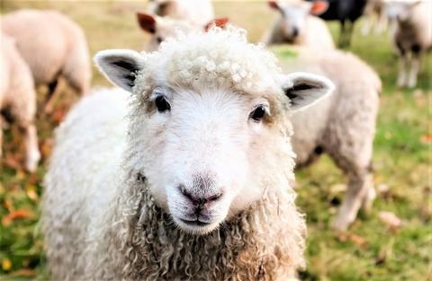 Cómo controlar la diarrea en el ganado ovino