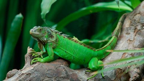 Recomendaciones para el cuidado de las iguanas