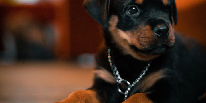 El problema de la aplasia medular en los canes