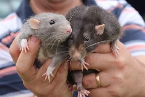 Qué enfermedades pueden transmitir las ratas