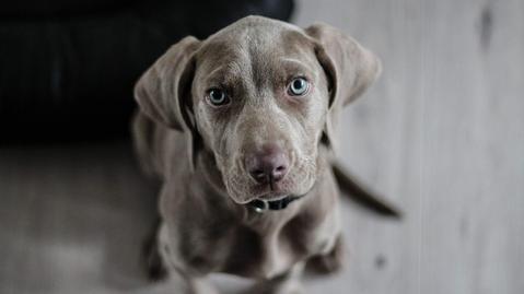 El problema de los párpados inflamados en los perros