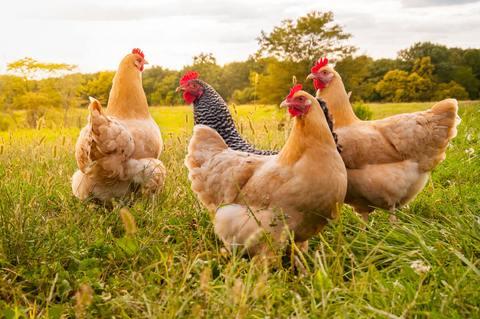Conoce las principales enfermedades de las gallinas y como se previenen